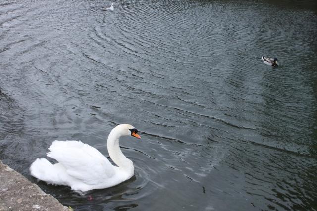 Wells bishops palace swan