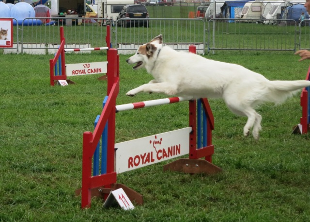 dog agility pembrokeshire county show 2