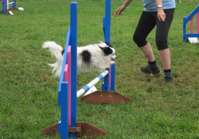 dog agility pembrokeshire county show 4