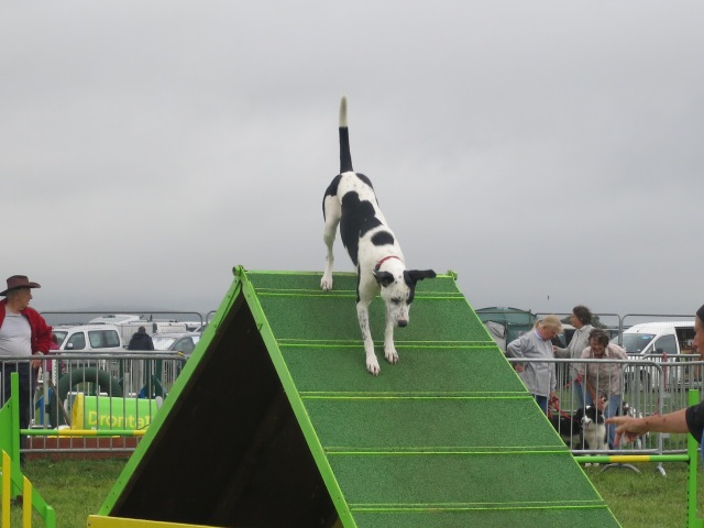 dog agility pembrokeshire county show ramp