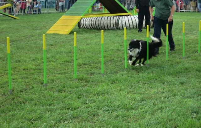 dog agility pembrokeshire county show slalom