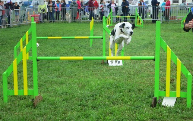 dog agility pembrokeshire county show